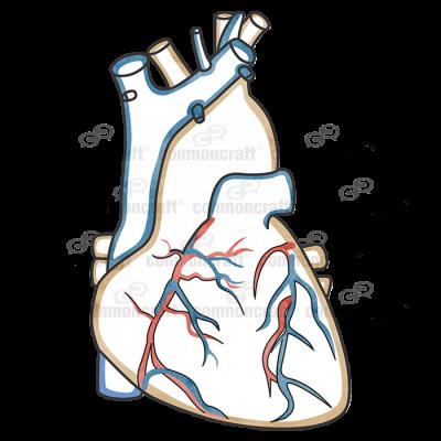 Heart Aorta